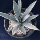 アガベ  マクロアカンサ錦 覆輪  Agave macroacantha variegated