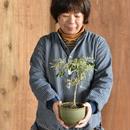 コーストバンクシア 両筑 伝市鉢 サクラソウ型