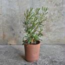 シルバーバンクシア 伝市鉢植え