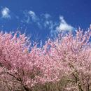 第88回サトーカメラ主催日帰り撮影の旅 ~福島桜の名所巡る撮影の旅~