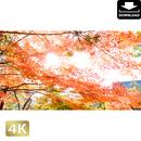 2043025 ■ 京都 東寺の紅葉
