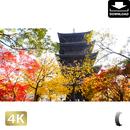 2043022 ■ 京都 東寺の紅葉