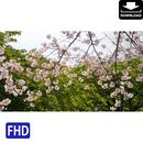 4020027 ■ 桜