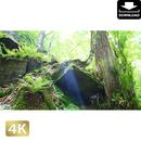 2035055 ■ 奥入瀬渓流 岩と木