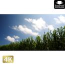 2040022 ■ 波照間島 サトウキビ畑