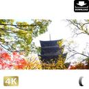 2043021 ■ 京都 東寺の紅葉
