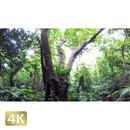 1022002 ■ 石垣島 米原ヤエヤマヤシ群落