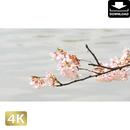 2020026 ■ 花見 桜