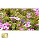 1020006 ■ 花畑 アネモネ