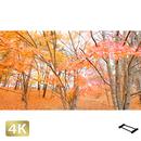 1016013 ■ 山中湖 紅葉
