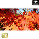 2043045 ■ 京都 東寺の紅葉
