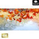2043004 ■ 京都 東寺の紅葉