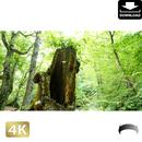 2035090 ■ 奥入瀬渓流 木の株