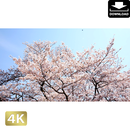 2032019 ■ 花見 桜