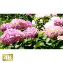 1024019 ■ 花畑 紫陽花