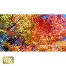 1015013 ■ 富士山 山中湖 紅葉