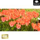 2020001 ■ 花畑 チューリップ