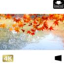 2043005 ■ 京都 東寺の紅葉