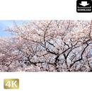 2032023 ■ 花見 桜