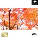 2043042 ■ 京都 東寺の紅葉