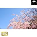 2032004 ■ 花見 桜