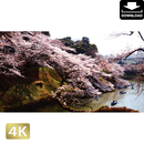 2032002 ■ 花見 桜