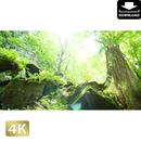 2035011 ■ 奥入瀬渓流 木