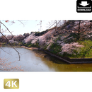 2032003 ■ 花見 桜