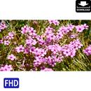 4024017 ■ 花 カタバミ
