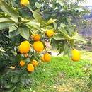 徳島産 無農薬レモン 3kg