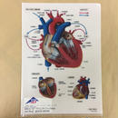 A4クリアファイル 心臓の構造