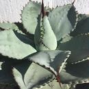 "pygmaea ""Dragon Toes"""