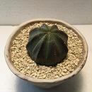 "Euphorbia ""obesa""  2"