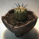Copiapoa cinerea var. dealbata 黒士冠