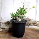 Othonna clavifolia オトンナ・クラビフォリア Ⅰ