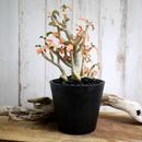 Dorstenia gypsophila ドルステニア・ジプソフィラ