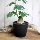 Adenia glauca アデニア・グラウカ L1