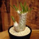 Pachypodium rosulatum var. inopinatum パキポディウム・ロスラーツム・イノピナツム