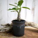 Pachypodium baronii var. windsorii パキポディウム・バロニー・ウィンゾリー W2