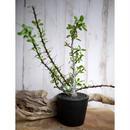 Fouquieria fasciculata×purpusii フォークイエリア・ファシクラータ × プルプシーS2
