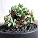 Ceraria pygmaea ケラリア・ピグマエア C2