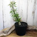 Fouquieria purpusii フォークイエリア・プルプシー