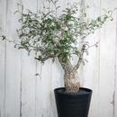 【6/18画像更新】Operculicarya pachypus オペルクリカリア パキプス P1