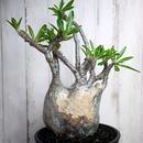 Pachypodium rosulatum spp. gracilius パキポディウム・ロスラーツム・グラキリウス(グラキリス)バッファローヘッド