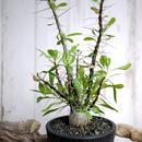 Fouquieria fasciculata×purpusii フォークイエリア・ファシクラータ × プルプシーM1