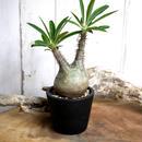 Pachypodium rosulatum var. gracilius パキポディウム・ロスラーツム・グラキリウス(グラキリス)Peace type