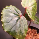 Begonia sp. from Tatau [RIO]