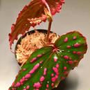 Begonia negrosensis from Negros [WWR]