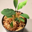 Piptospatha ridleyi from Malay Peninsula [KN]