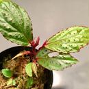 Begonia sp. from Sumatera Utara